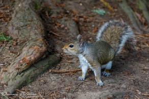 squirrel 11